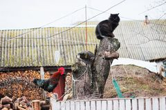 Rustic multicolored rooster at fence and cat at stump. In the village royalty free stock image