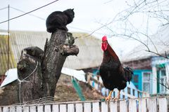Rustic multicolored rooster at fence and cat at stump. In the village stock photos
