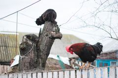 Rustic multicolored rooster at fence and cat at stump. In the village royalty free stock photo