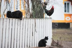 Rustic multicolored rooster at fence and cats. In the village stock photo