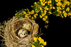 A rustic nest with two eggs. A rustic nest with eggs surrounded by yellow broom flowers on a black background Stock Images
