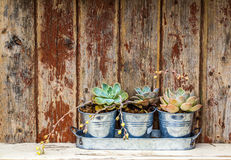 Rustic plants. Three plants in pots placed on a old rustic wooden cabinet Royalty Free Stock Images