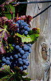Rustic post with purple grapes Royalty Free Stock Photo