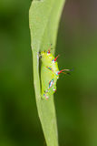 The Rustic pupa Stock Images