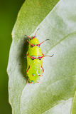 The Rustic pupa Stock Image