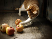 Rustic red cat and apples Stock Image