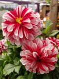 Pair of dahlias. Rustic red and white dahlias stock images
