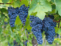 Rustic red wine production. Grapes ready to harvest. Stock Photography