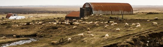 Rustic sheep farm in Iceland. Panoramic image of a rustic sheep farm in rural Iceland in the springtime Royalty Free Stock Image