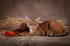 Rustic style cat. Cat Devon Rex red country style stock photos