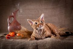 Rustic style cat Royalty Free Stock Photography