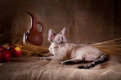 Rustic style cat. Cat Devon Rex red country style stock image