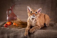 Rustic style cat. Cat Devon Rex red country style royalty free stock images