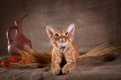 Rustic style cat. Cat Devon Rex red country style stock photo