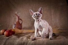 Rustic style cat. Cat Devon Rex red country style royalty free stock photography