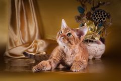 Rustic style cat. Cat Devon Rex red country style royalty free stock photos