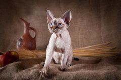 Rustic style cat. Cat Devon Rex red country style royalty free stock photo