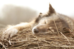 Rustic style a dog asleep on the hay Royalty Free Stock Photo