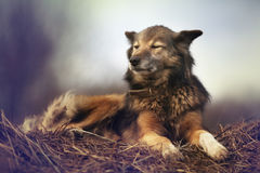 Rustic style, a dog asleep on the hay Royalty Free Stock Photo