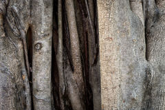 Rustic Tree trunk bark for texture background. Stock Photography
