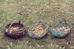 Rustic varieties in the retro style. Three different hand-woven baskets with potatoes on a grass background Stock Photography