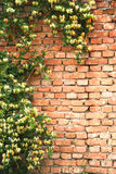 Rustic wall. Old rustic bricks wall partially covered with plants Royalty Free Stock Images