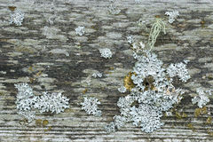 Rustic weathered barn wood full of lichen and moss Royalty Free Stock Images