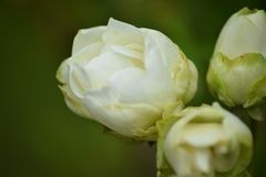 Rustic white garden rose stock image