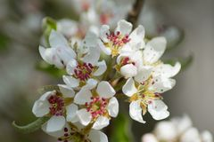 Rustic white and pink pear blossom stock images