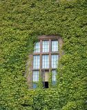 Rustic window. Classic window covered in ivy Royalty Free Stock Photo