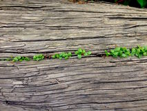 Rustic wood with fresh plant. Some small fresh plant sprouting from rustic wood Stock Image