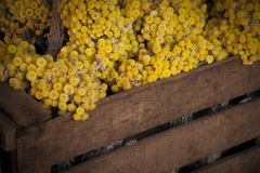 A wooden crate full of dried yellow flowers. A rustic wooden crate full of dried yellow flowers royalty free stock photography