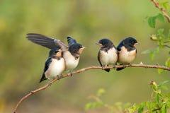 Rustica ласточки 4 ласточек амбара птенеца ждать их родителей Стоковые Фото
