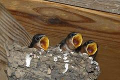 Rustica del Hirundo dei pulcini del sorso di granaio sul nido immagine stock libera da diritti