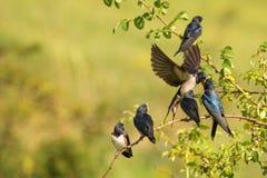 Rustica do Hirundo da andorinha de celeiro que alimenta seu aninhar-se em voo foto de stock royalty free
