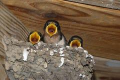 Rustica för Hirundo för fågelungar för ladugårdsvala på rede Fotografering för Bildbyråer