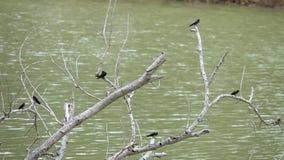 Rustica juvenil del Hirundo de los pájaros del trago de granero que se sienta en rama de árbol sobre el agua almacen de video