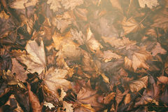 Rustiek Autumn Leaves Royalty-vrije Stock Foto's