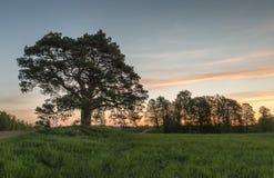 Rustiek landschap met een plattelandsweg, eenzame pijnboom Stock Afbeeldingen