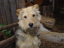Rustieke hond Stock Foto