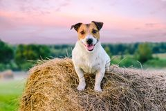Rustieke scène met landbouwbedrijfhond op hooiberg bij zonsondergang Royalty-vrije Stock Foto