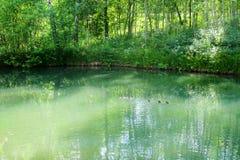 Rustige bosdievijver door weelderig groen bospark in zonneschijn wordt ontworpen Groen water in een vijver met rond eenden en bom stock foto's