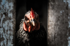 Rustige kip Royalty-vrije Stock Foto