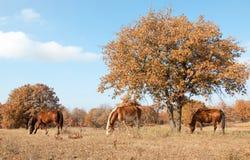 Rustige scène van drie paarden die in Au weiden Stock Foto's