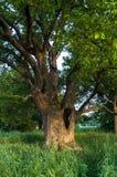 Rustige schoonheid van een de zomeravond in troosteloos platteland Oud vertakte zich eiken boom met diepe hol in zijn boomstam en royalty-vrije stock afbeeldingen
