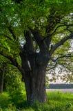 Rustige schoonheid van een de zomeravond in troosteloos platteland Oud vertakte zich eiken boom met diepe hol in zijn boomstam en stock foto's