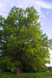 Rustige schoonheid van een de zomeravond in troosteloos platteland Oud vertakte zich eiken boom met diepe hol in zijn boomstam en stock foto