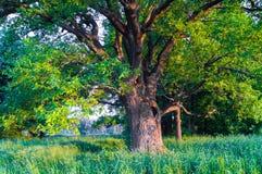 Rustige schoonheid van een de zomeravond in troosteloos platteland Oud vertakte zich eiken boom met diepe hol in zijn boomstam en royalty-vrije stock foto