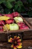 Rustikale Äpfel der kürzlich geernteten Ernte Stockbild
