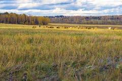 Rustikale Landschaft des Herbstes, schräges Feld, Wiese, Kühe weiden lassend, Schäfer, Feld nach Ernte auf Hintergrund des Waldes Lizenzfreie Stockfotos